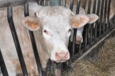 Vaches agrivista